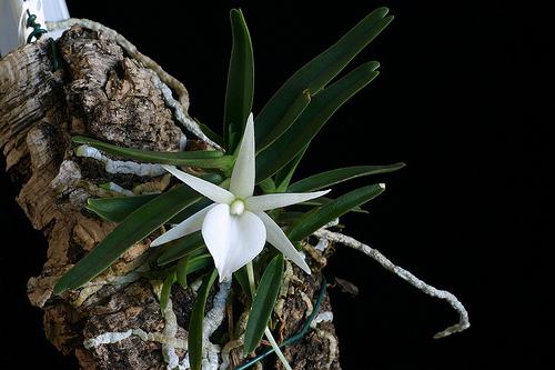 Angraecum ruthembergianum