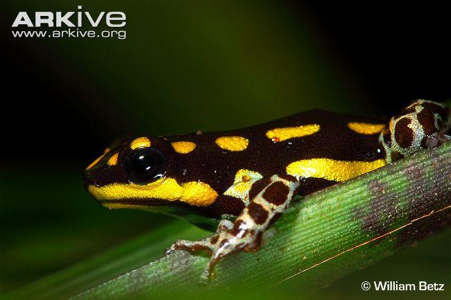 Adult-Ranitomeya-flavovittata