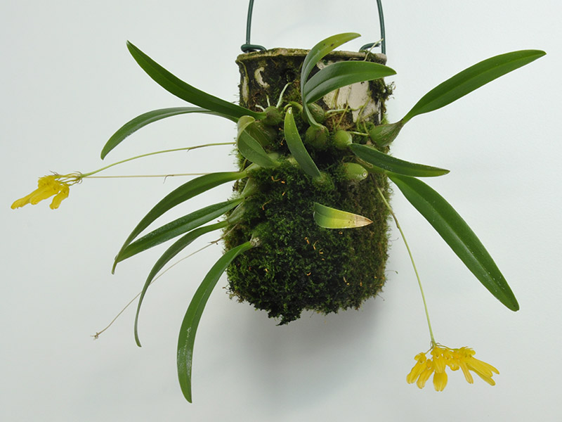 Bulbophyllum_macroleum_286_1301a