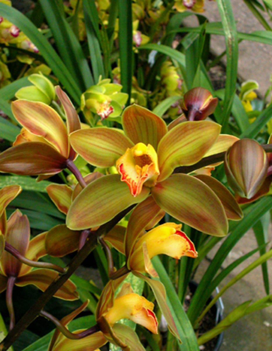 Orchidee terraria for Orchidee da esterno
