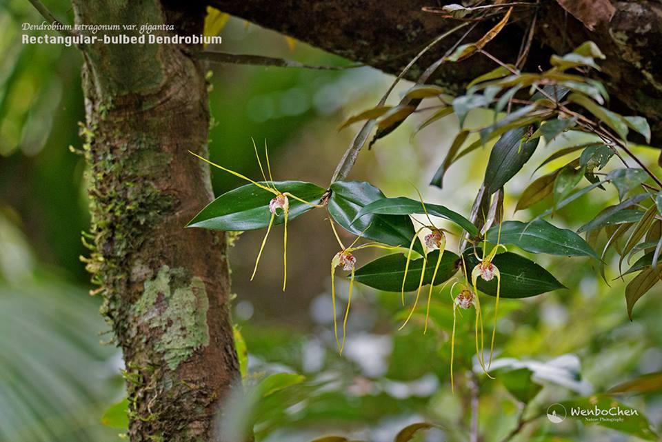 Dendrobium tetragonum var. gigantea