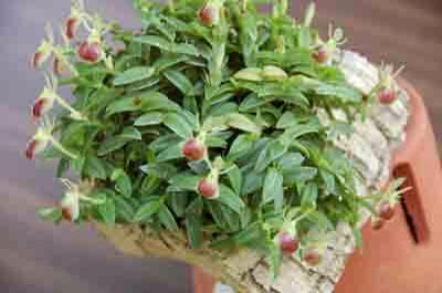 Epidendrum-Porpax-5