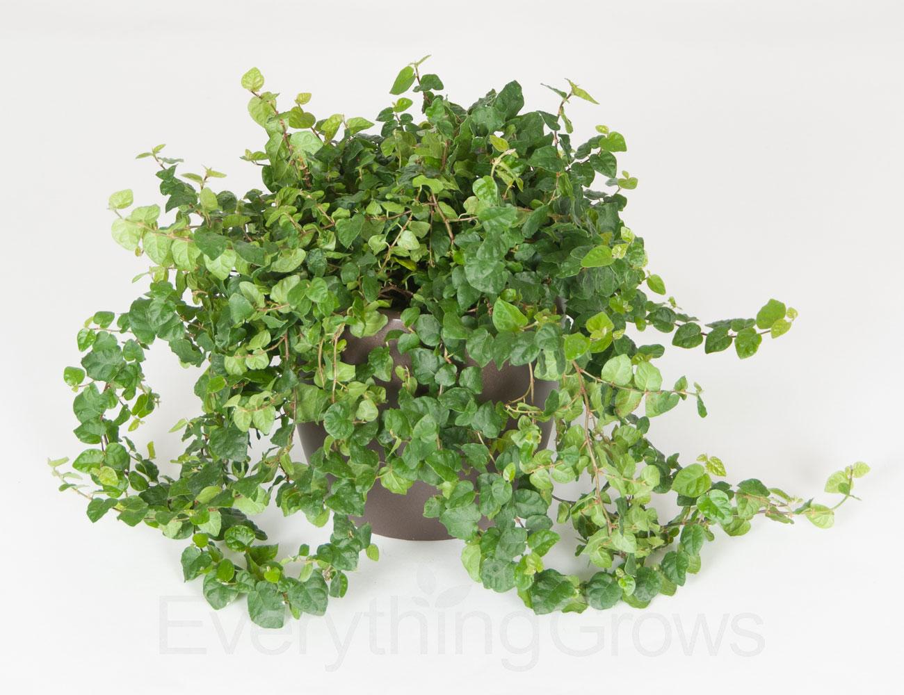 Ficus-Repens-Green-High