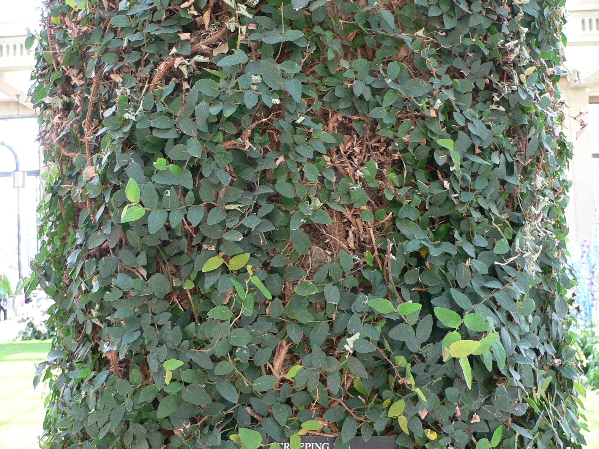 Ficus_pumila_1