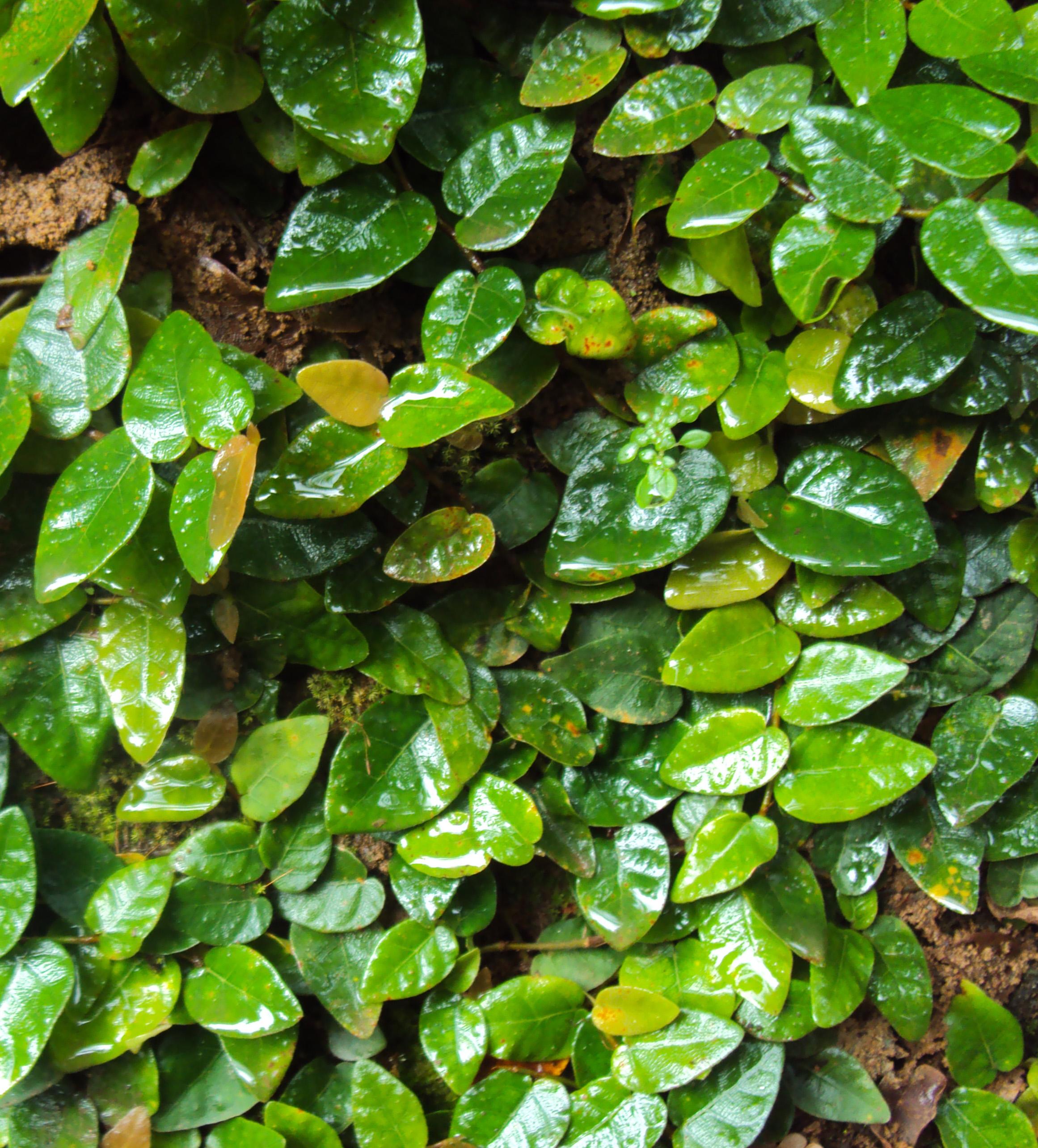 Ficus_pumila_plant_on_a_wall