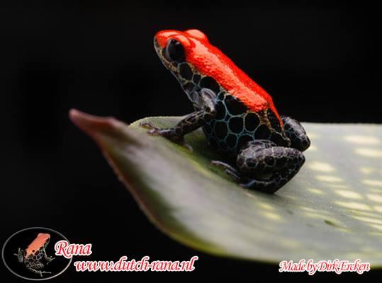 Ranitomeya reticulatus
