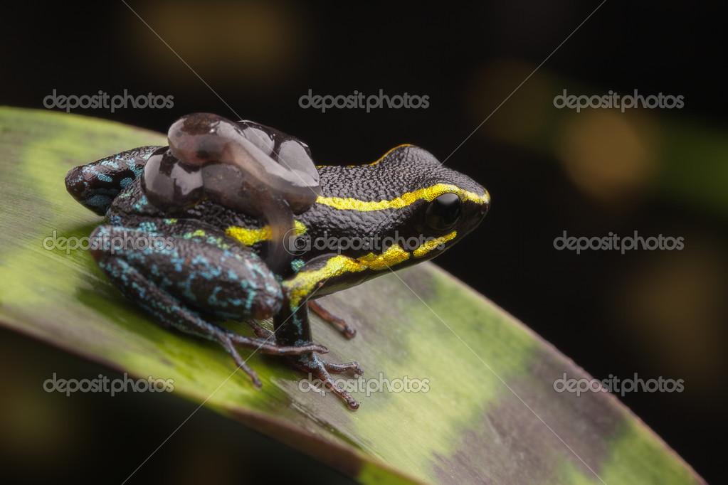 poison dart frog tadpoles