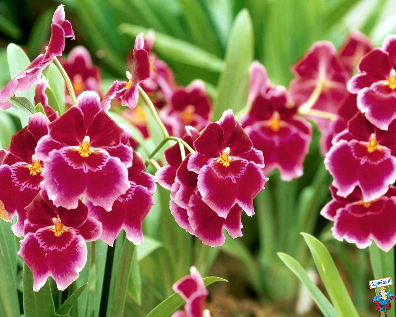 orchidee_8