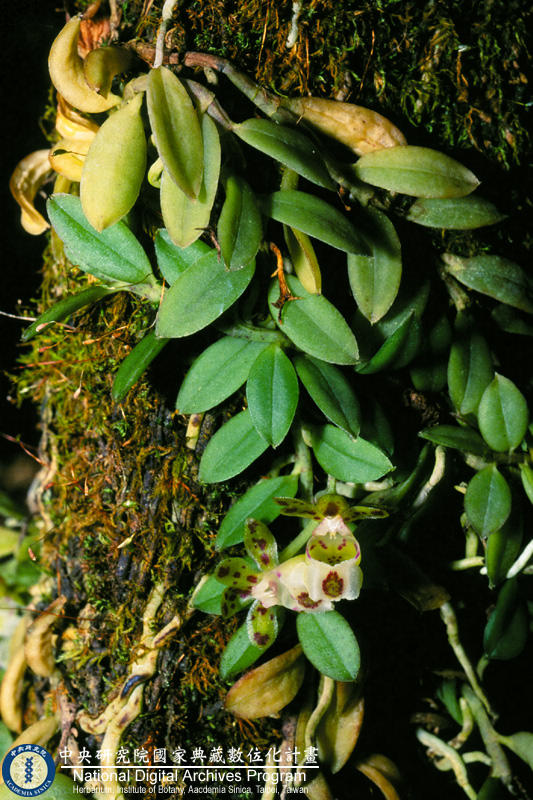 Gastrochilus formosanum