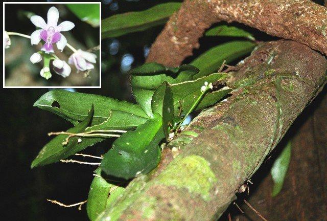 Phalaenopsis deliciosa - sin. Kingidium deliciosum, Thailandia.