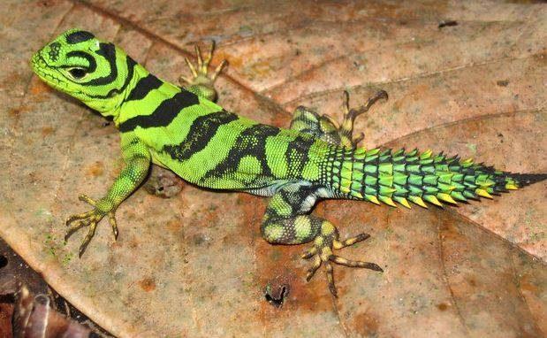 Uracentron azureum (iguana verde)
