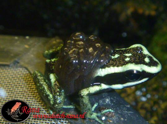 A. bassleri sissa with tadpoles