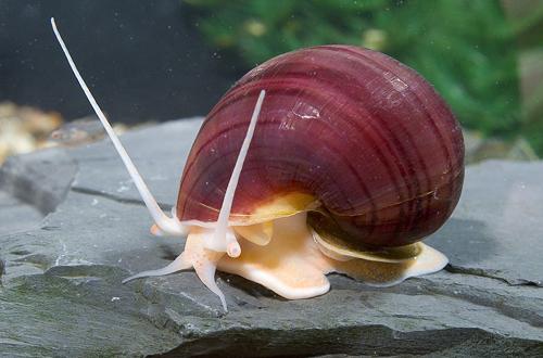 Lavender Mystery Snail