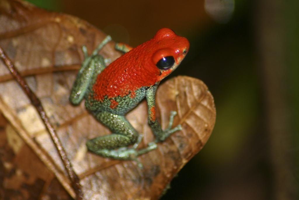 Granular-Poison-Dart-Frog-Dendrobates-granuliferus-Brian-Gratwicke