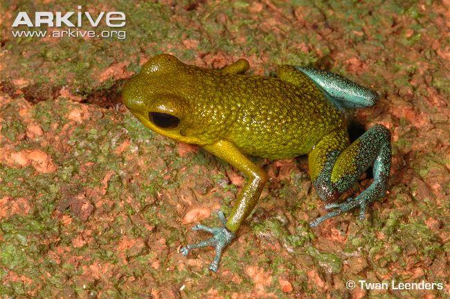 Granular-poison-frog-green-colour-morph
