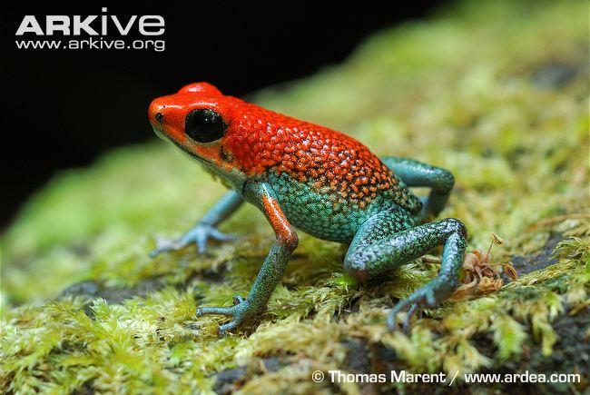 Granular poison frog standing on moss. (Oophaga granulifera sopra al muschio)