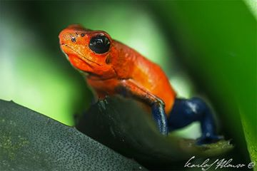 Oophaga C.f Typographa - Costa Rica.