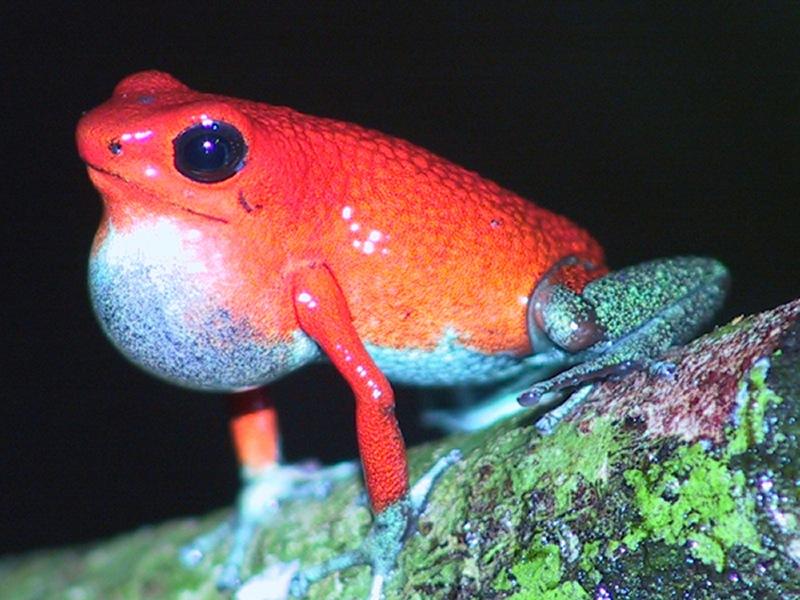Oophaga granulifera 'Dominical'