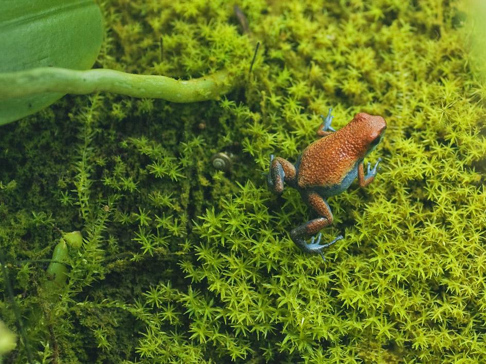 Oophaga pumilio escudo.3