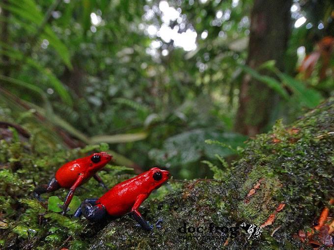 Two pumis from Estacion Biologica la Selva, Costa Rica.