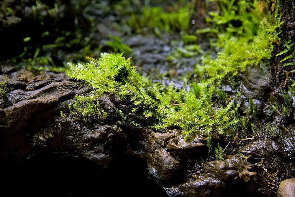 Vesicularia montagnei 3