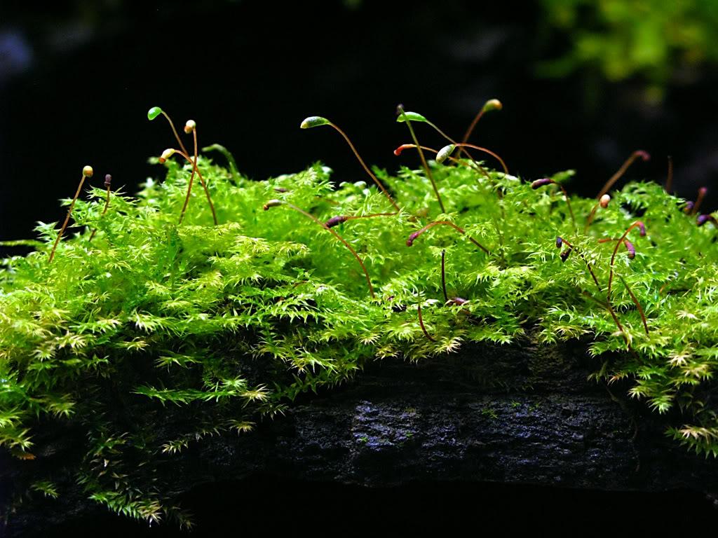 Vesicularia montagnei 4