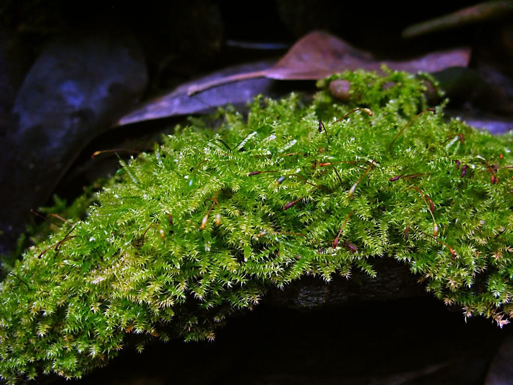 Vesicularia montagnei 5