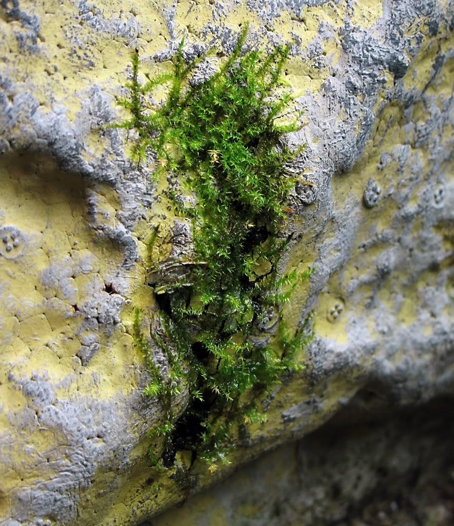Vesicularia montagnei. 2