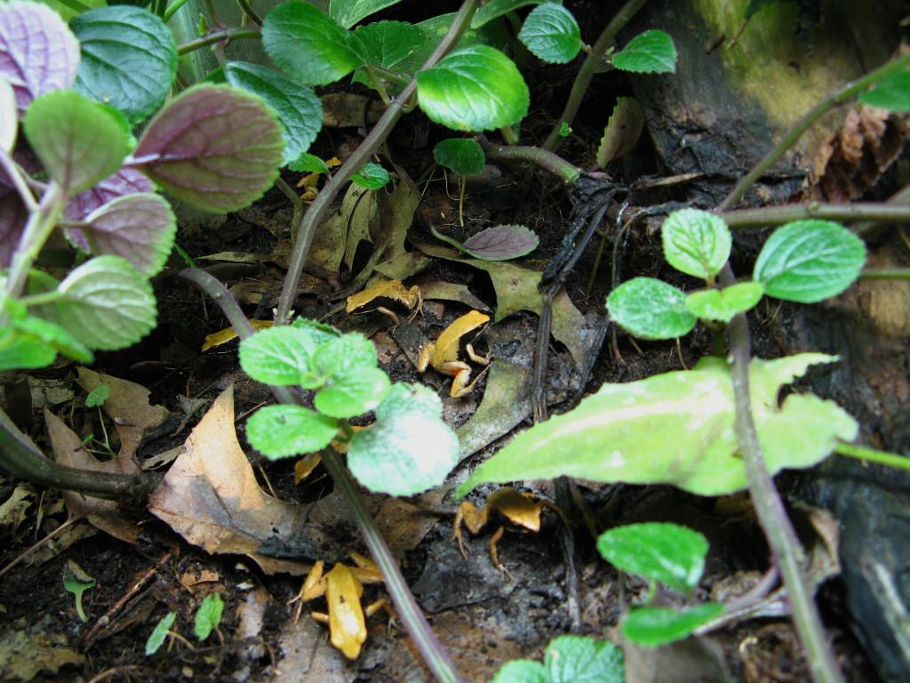 Un gruppo di M. crocea a caccia di insetti nel terrario.