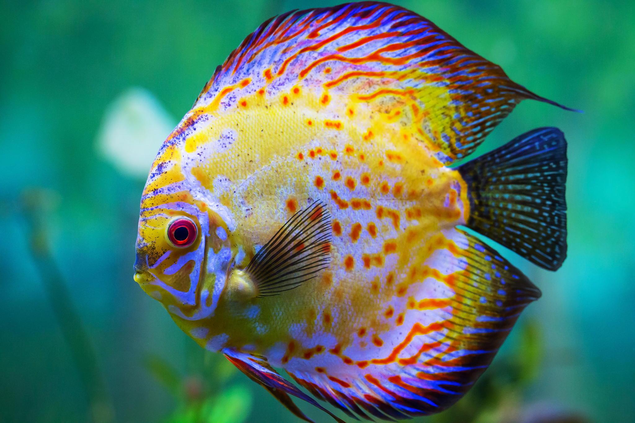 Symphysodon discus terraria for Pesce discus