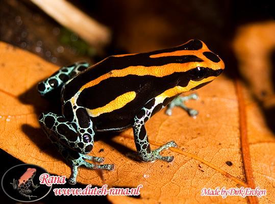 R. amazonicus Iquitos