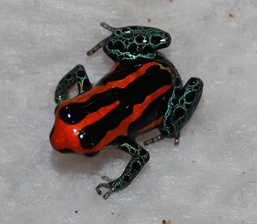 R. amazonica Iquitos 3