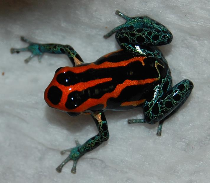 R. amazonica Iquitos 8