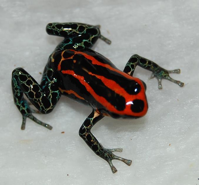 R. amazonica Iquitos 9