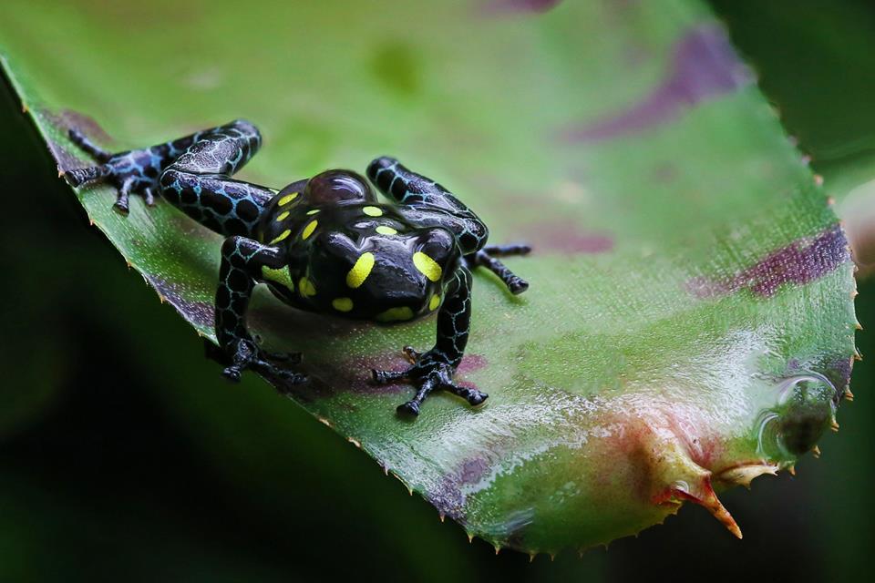 R. vanzolinii