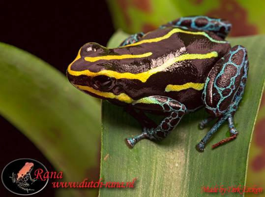 Ranitomeya amazonica iquitos 2