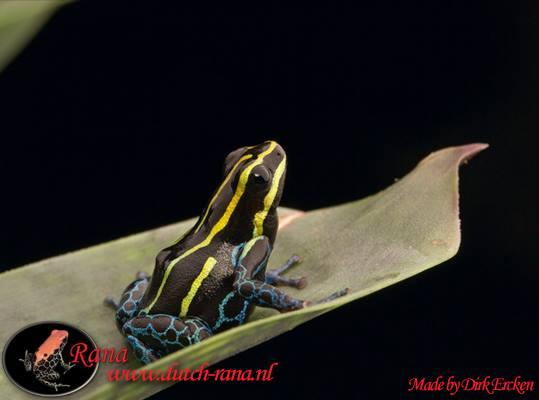Ranitomeya amazonica iquitos 3