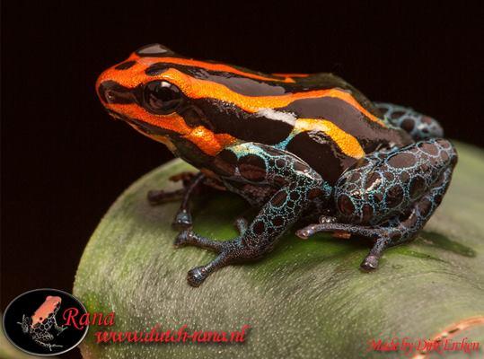 Ranitomeya amazonica iquitos 4