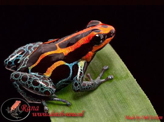 Ranitomeya amazonica iquitos 5