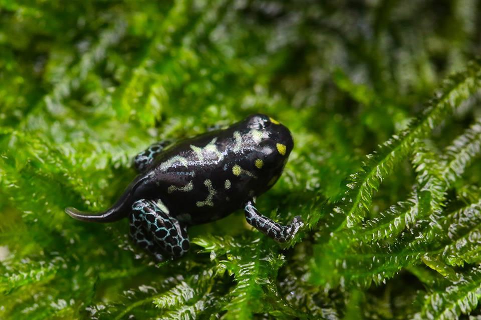 Ranitomeya vanzolinii froglet