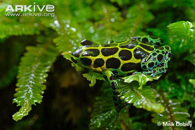 Ranitomeya variabilis 2