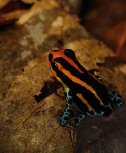 Ranitomeya amazonica da Iquitos, in Perù. Foto di Evan Twomey.