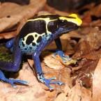 """Dendrobates tinctorius """"brazilian cobalt"""""""