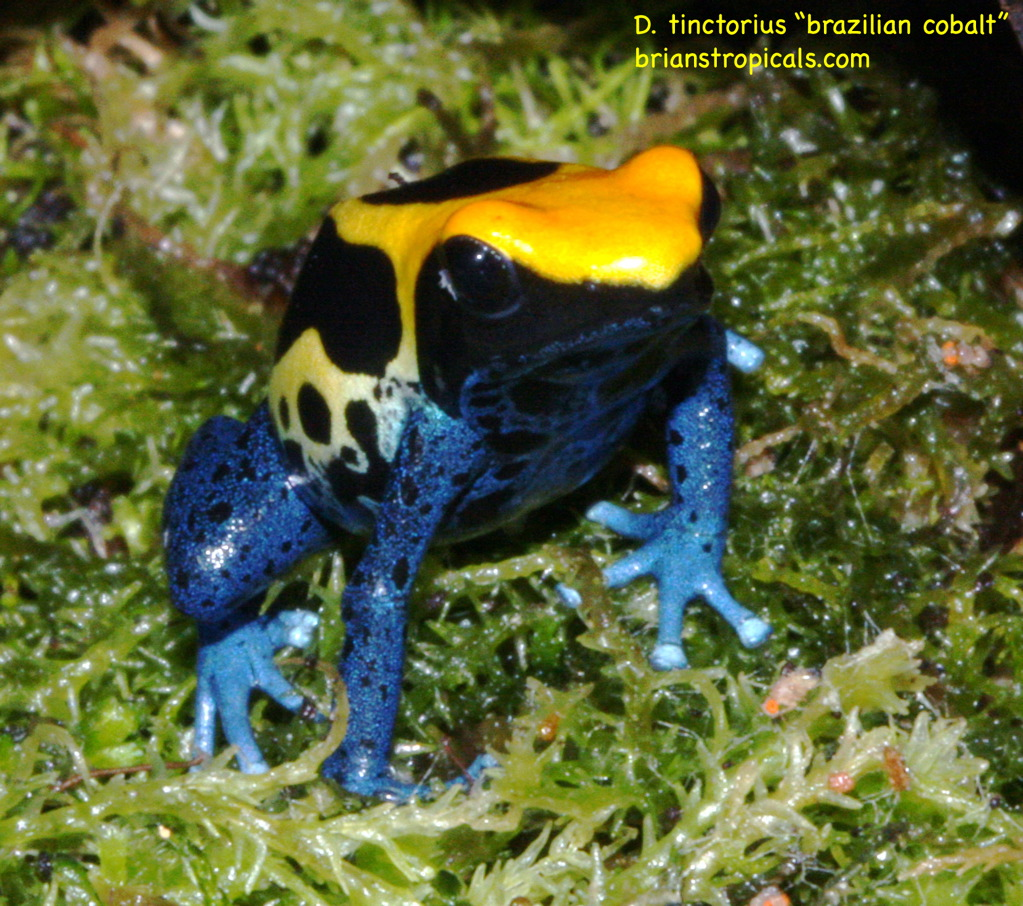 "Dendrobates tinctorius ""brazilian cobalt"" | TERRARIA"