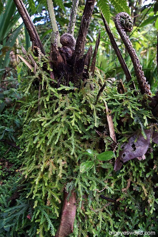 Bajos Del Toro - Selaginella on tree fern