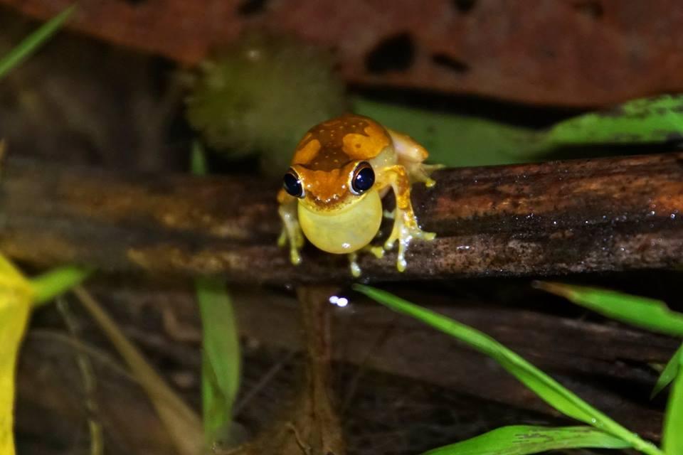Dendropsophus ebracattus