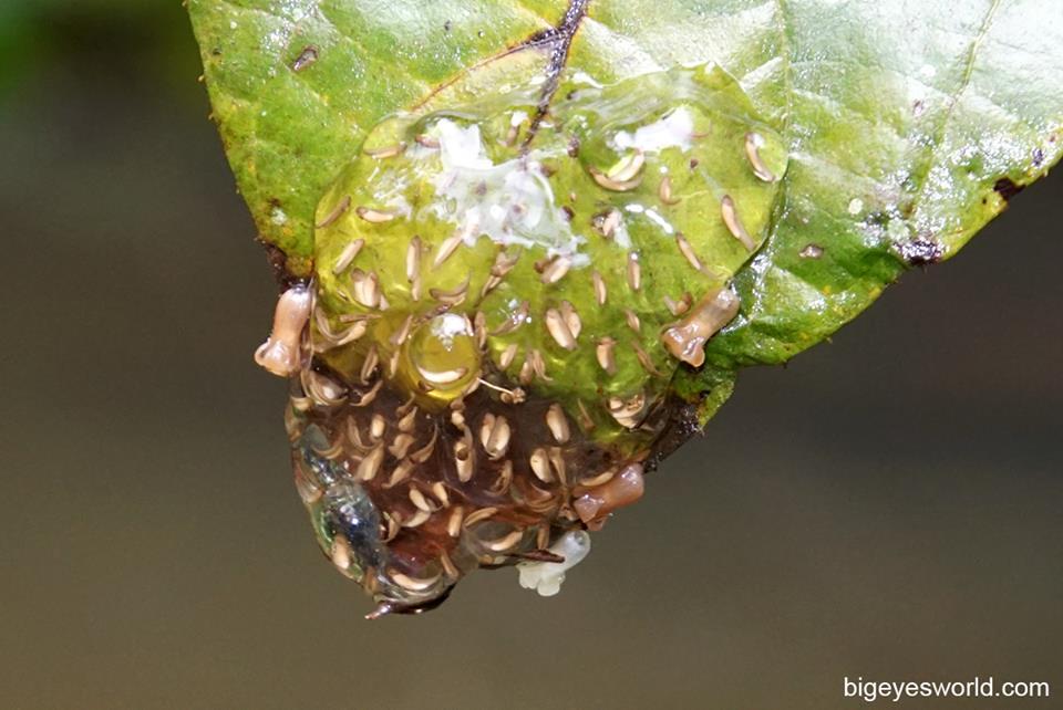 Dendropsophus ebraccatus 3