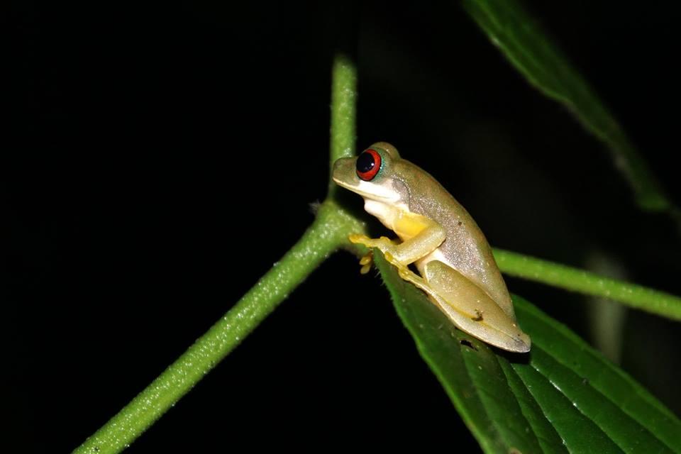 Duelmanohyla rufiocolis 2