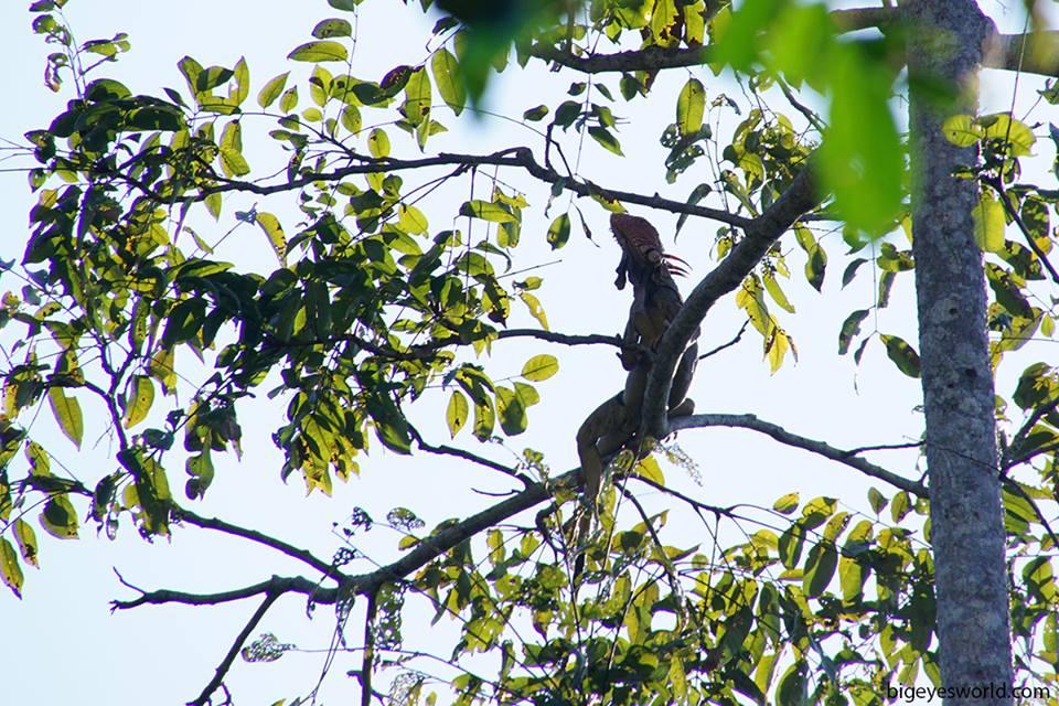 Manuel Antonio - Iguana iguana