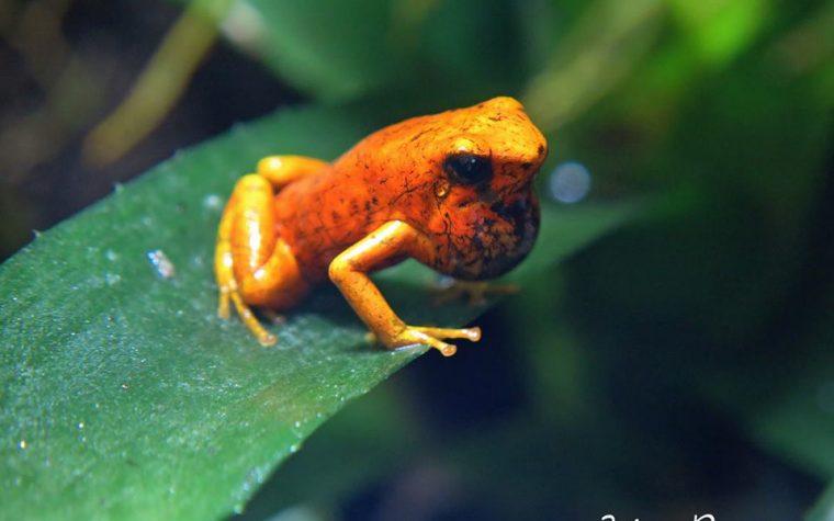 IL RICHIAMO VOCALE DELLE DENDROBATIDI (Various Frogs Calling)